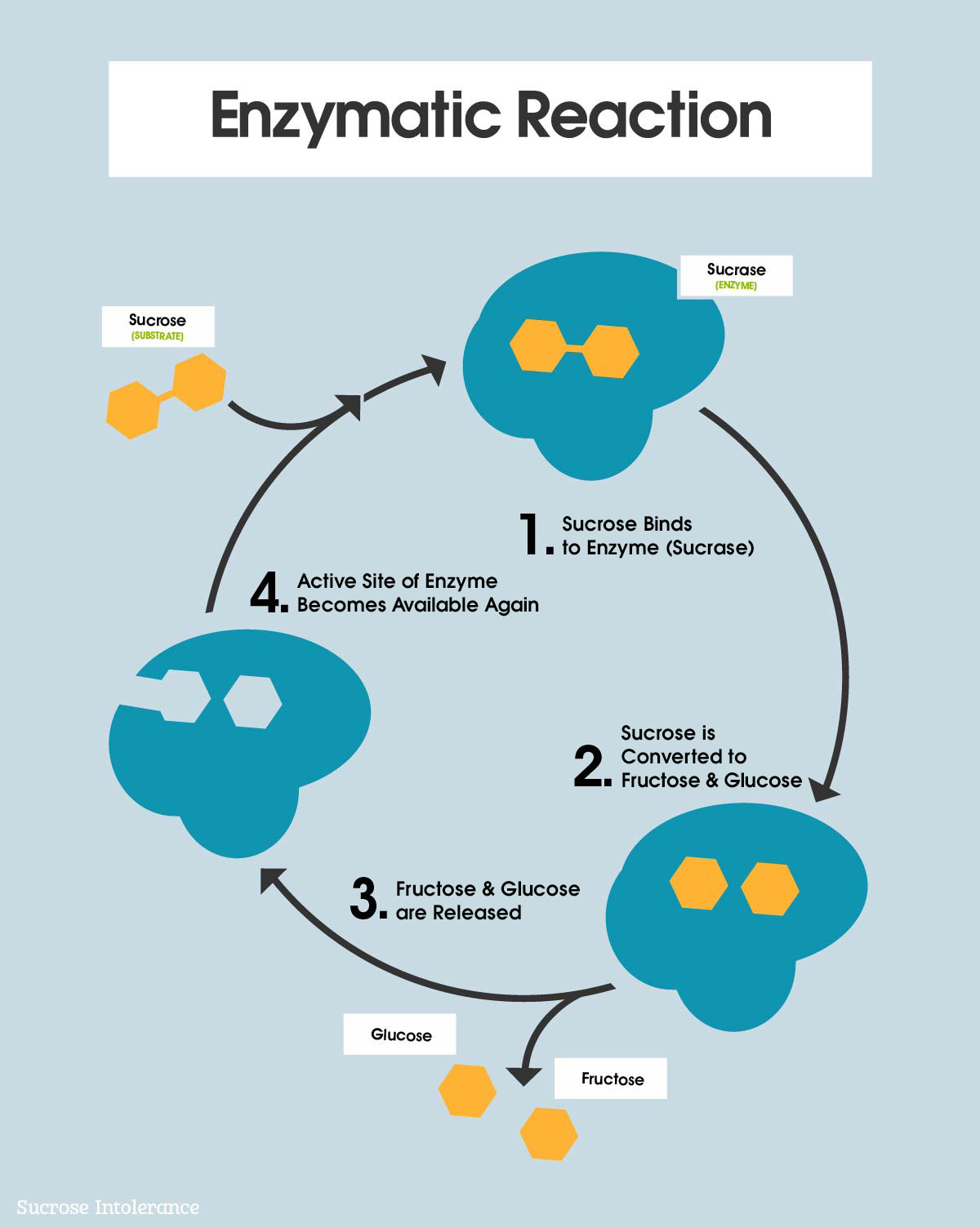 Sucrose and Enzyme Reactions